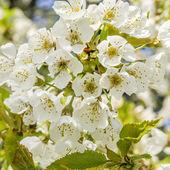 Cherry tree blossom — Stockfoto