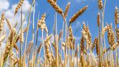 Wheat close before harvest — Stok fotoğraf