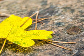 Maple leave and needles on wooden bank in autumn forest — Fotografia Stock