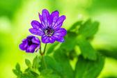 Violet flower in spring european forest — Стоковое фото