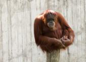 Mature orangutan sitting on a log and looking straight — Stock Photo
