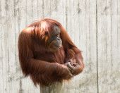Mature orangutan sitting on a log and looking to the right — Stock Photo