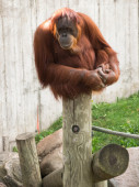 Mature orangutan sitting on a log and looking to the left — Stock Photo