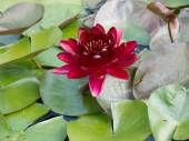 Red water-lily — Stock Photo