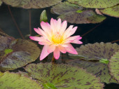 Pink water-lily — Stock Photo