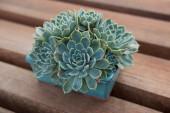 Echeveria succulent in blue rectangular pot — Stock Photo