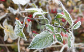 First frost on green leaves — Stockfoto