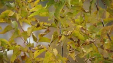 Autumn, wind: leaves falling from the tree (macro) — Stock Video