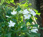 White Plumeria Pudica — Stock Photo