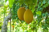 Gac fruit, Baby Jackfruit — Stock Photo