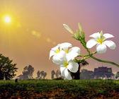 White Plumeria — Stock Photo