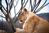 Female lion — Stock Photo