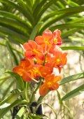 La bellezza dell'Orchidea arancione. — Foto Stock