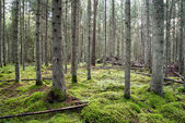 Old forest with moss covered trees and rays of sun — Stock Photo