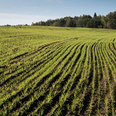 Beautiful freshly cultivated green crop field — Stock Photo