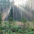 Beautifull light beams in forest through trees — Stock Photo #58653457