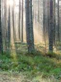 Beautifull light beams in forest through trees — Stock Photo