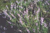 Flores de heather na floresta. Vintage. — Fotografia Stock