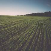 Beautiful freshly cultivated green crop field. Vintage. — Stock Photo