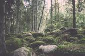 Old forest with moss covered trees and rays of sun - retro, vint — Stock Photo