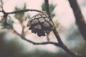Branch with cones - retro, vintage — Stock Photo