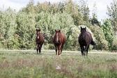 Wildpferde im Bereich — Stockfoto