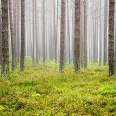 Misty morning in the woods — Stock Photo