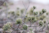 Pine tree closeup with frost — Stock Photo