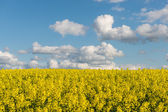 Rape fields in country under blue sky with white clouds — Stock Photo