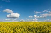 Rapsfält i land under blå himmel med vita moln — Stockfoto