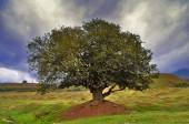 Lonely tree on the field — Stockfoto