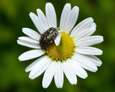 Insect crawling on camomile — Stock Photo
