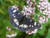 Beautiful butterfly (Athyma ranga, Black-veined Sergeant) — Stock Photo