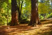 Sequoia tree autumn park — Stock Photo