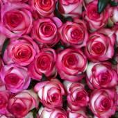Beautiful valentine pink rose flowers — Stockfoto