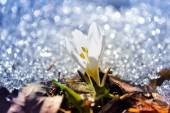 Wild crocus in early spring — Stock Photo