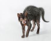 Lykoi Cats (Werewolf cats) — Stock Photo