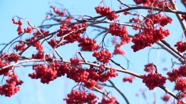 Rowan berries frozen — Vidéo