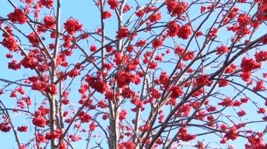 Rowan berries frozen — Stockvideo