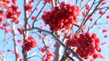 Rowan berries frozen — Stock Video