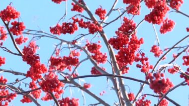 Rowan berries frozen — Αρχείο Βίντεο