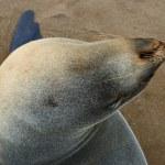 Seal, Cape Cross, Namibia — Stock Photo #55002339