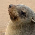 Seal, Cape Cross, Namibia — Stock Photo #55003233