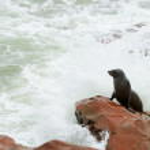 Seal, Cape Cross, Namibia — Stock Photo #55005033