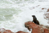 Seal, Cape Cross, Namibia — Stock Photo