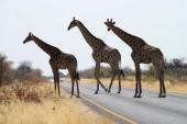 Giraffes at Etosha National Park, Namibia — Stock Photo