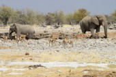 Elephants, Etosha National Park, Namibia — Stock Photo