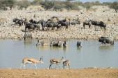 Zebras, Etosha National Park, Namibia — Stock Photo