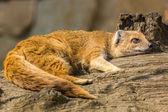 Lazy mongoose lying. — Stock Photo