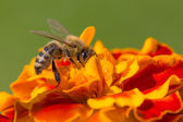 Nice bee working on a flower. — Stock Photo